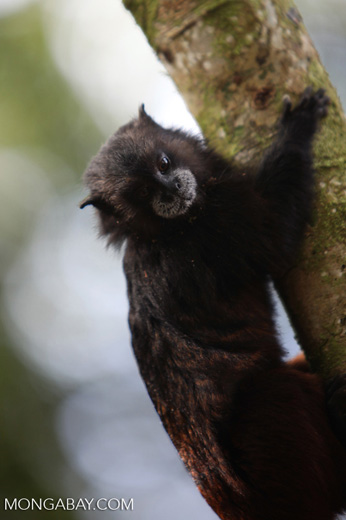 Brown-mantled Tamarin (Saguinus fuscicollis) [colombia_0930]
