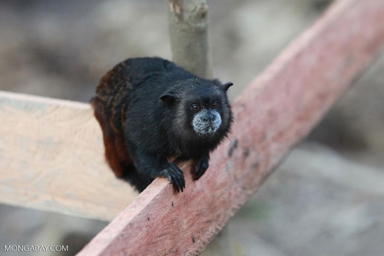Brown-mantled Tamarin (Saguinus fuscicollis) [colombia_0970]