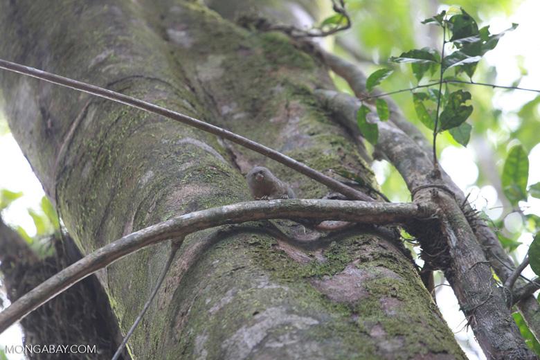 Pygmy Marmoset (Cebuella pygmaea) [colombia_0981]