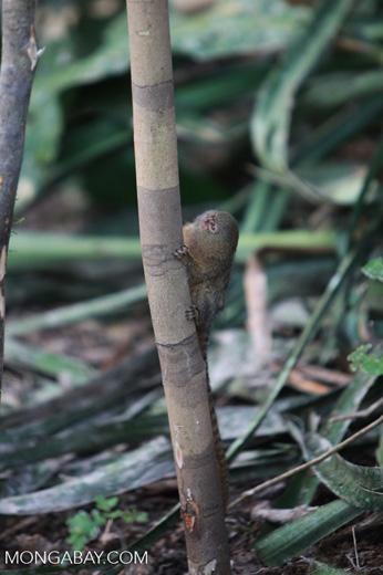 Pygmy Marmoset (Cebuella pygmaea) [colombia_1015]