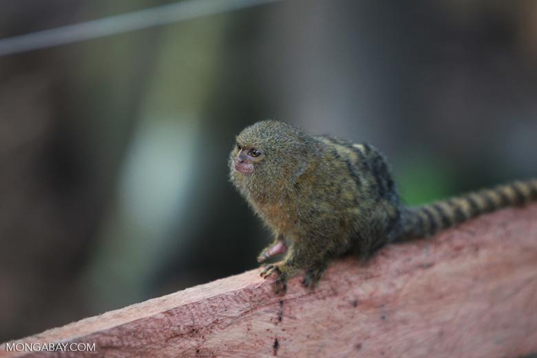 Pygmy Marmoset (Cebuella pygmaea) [colombia_1031]