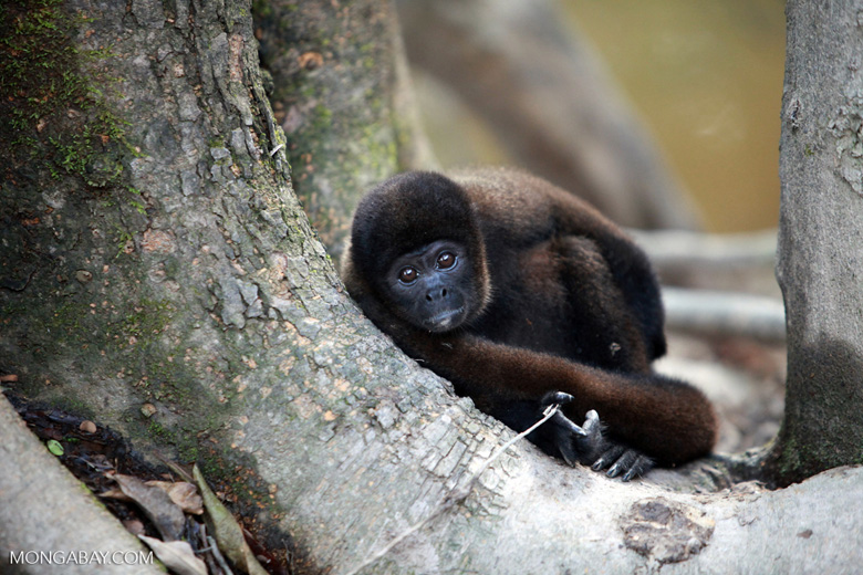 Common woolly monkey (Lagothrix lagotricha) [colombia_1064]
