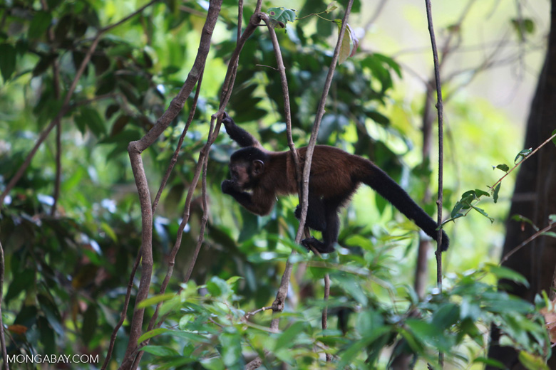 Brown Capuchin (Cebus apella) [colombia_1070]