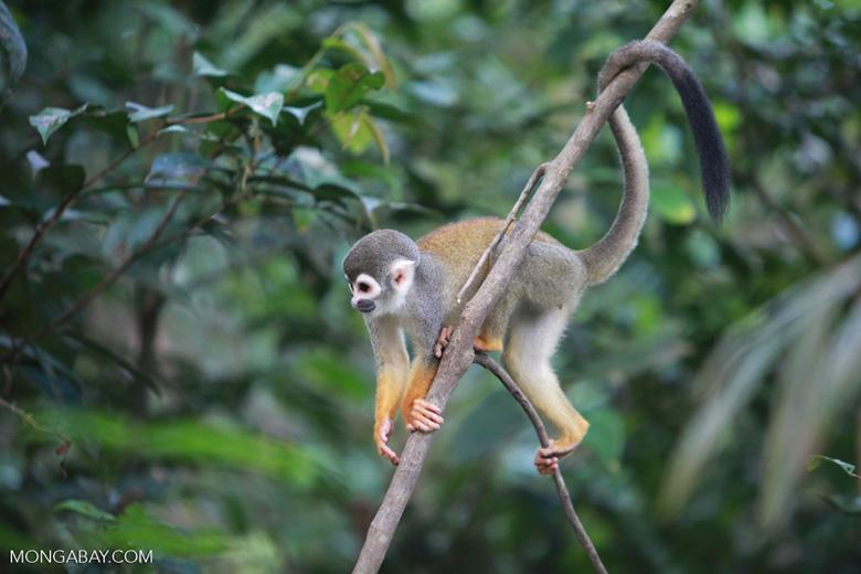 Common Squirrel Monkey (Saimiri sciureus) [colombia_1075]