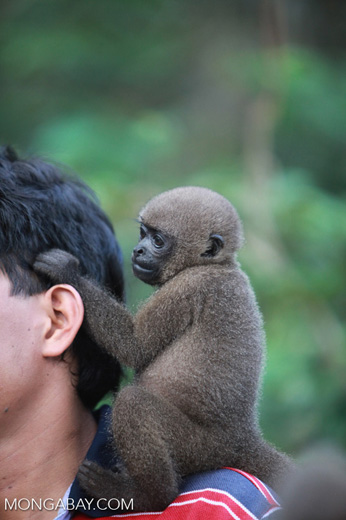 Common woolly monkey at a rehabiltiation center for animals once trafficked for the pet trade [colombia_1081]