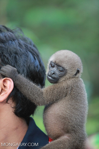 Common woolly monkey at a rehabiltiation center for animals once trafficked for the pet trade [colombia_1085]