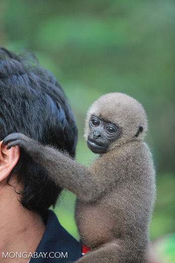 Common woolly monkey at a rehabiltiation center for animals once trafficked for the pet trade [colombia_1086]