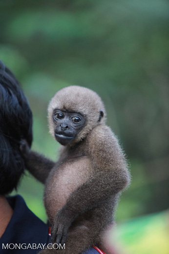 Common woolly monkey at a rehabiltiation center for animals once trafficked for the pet trade [colombia_1091]