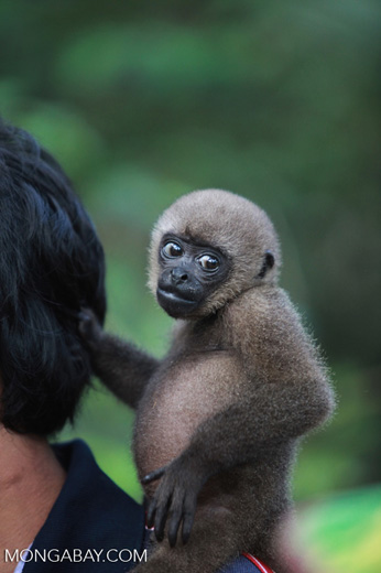 Common woolly monkey at a rehabiltiation center for animals once trafficked for the pet trade