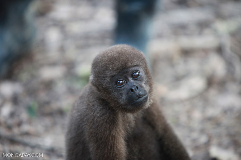 Common woolly monkey at a rehabiltiation center for animals once trafficked for the pet trade [colombia_1103]