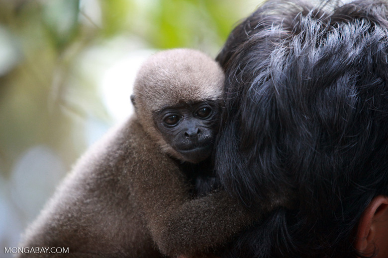 Common woolly monkey at a rehabiltiation center for animals once trafficked for the pet trade [colombia_1110]