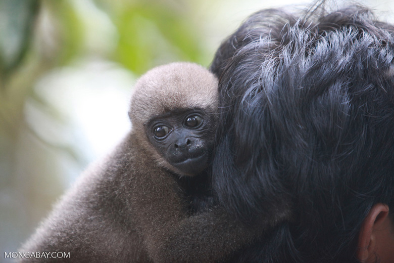 Common woolly monkey at a rehabiltiation center for animals once trafficked for the pet trade [colombia_1121]