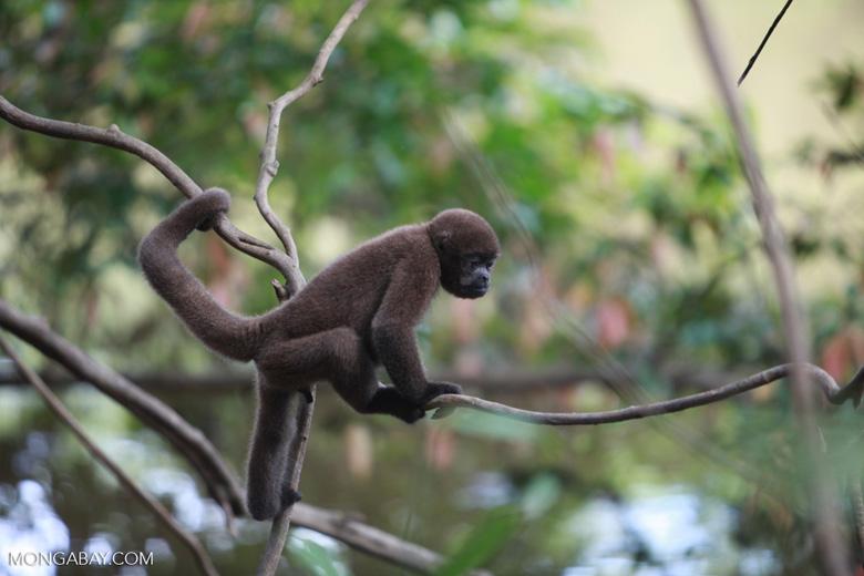 Common woolly monkey (Lagothrix lagotricha) [colombia_1128]