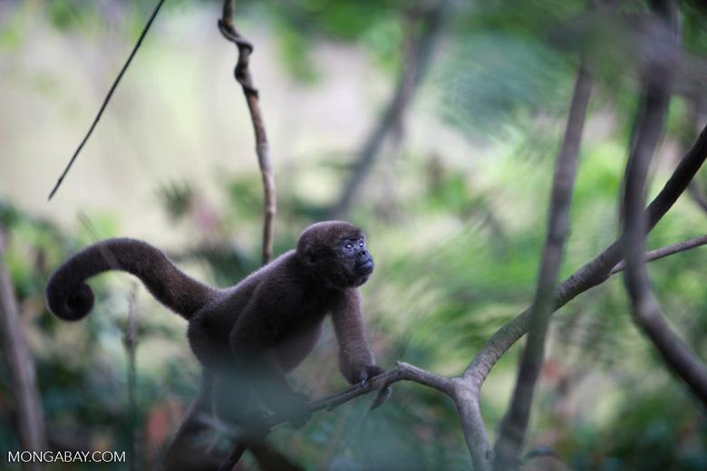 Common woolly monkey (Lagothrix lagotricha) [colombia_1131]