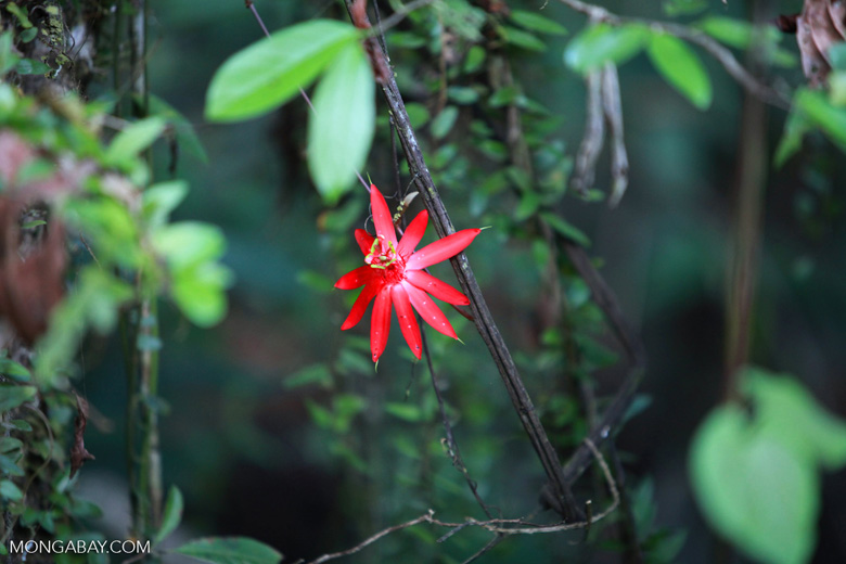 Red passion vine flower