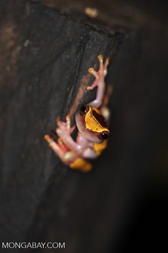 Bereis Tree frog (Dendropsophus leucophyllatus)