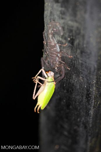 Scorpion eating a katydid