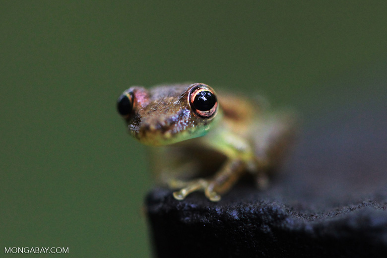 Dendrpsophus sp frog [colombia_1236]