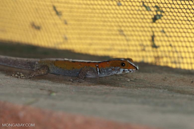 Orange Gonatodes vittatus lizard with a black and white racing stripe