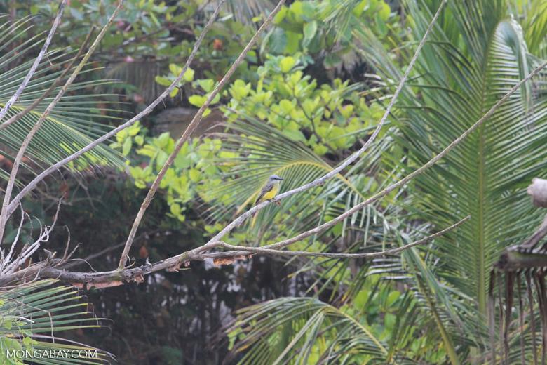 Tropical Kingbird (Tyrannus melancholicus) [colombia_1438]