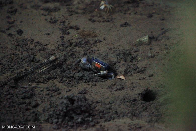 Blue Land Crab (Cardisoma guanhumi) [colombia_1444]