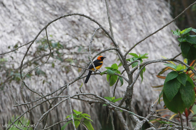Orange-crowned Oriole (Icterus auricapillus)