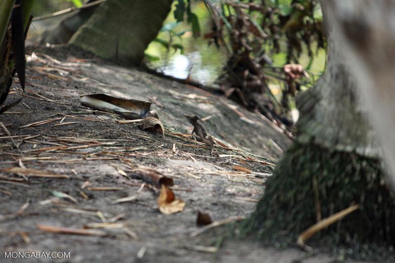 Male Common Basilisk (Basiliscus basiliscus) with crest [colombia_1501]
