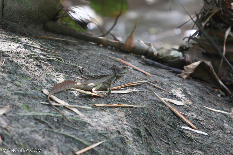 Male Common Basilisk (Basiliscus basiliscus) with crest [colombia_1505]