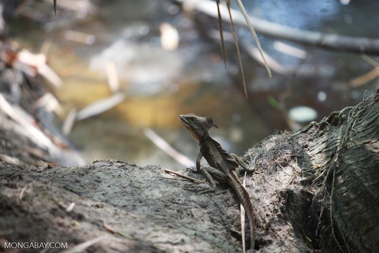 Male Common Basilisk (Basiliscus basiliscus) with crest [colombia_1506]