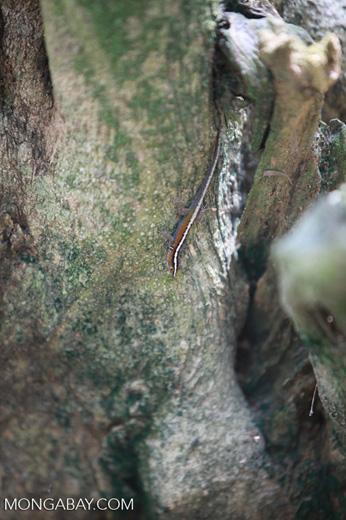 Orange, white, black, and gray lizard [colombia_1518]