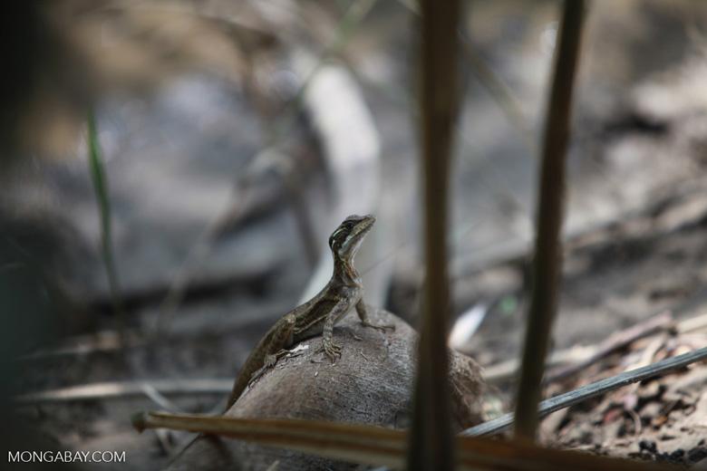 Common Basilisk (Basiliscus basiliscus)