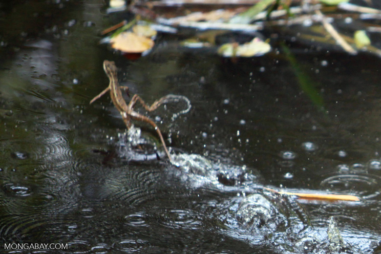 Lagarto de Jesus Cristo (Basiliscus basiliscus) running across water