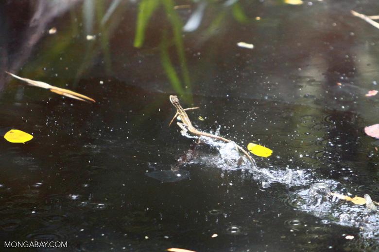 Jesus lizard (Basiliscus basiliscus) running across water