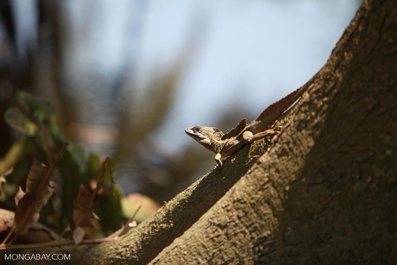 Common Basilisk Lizard