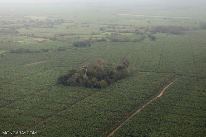Forest fragment amid a banana plantation