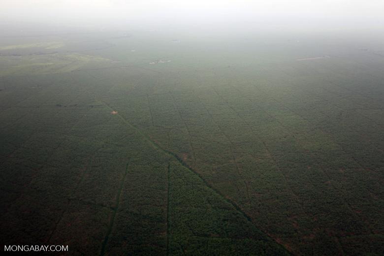 Massive banana plantation