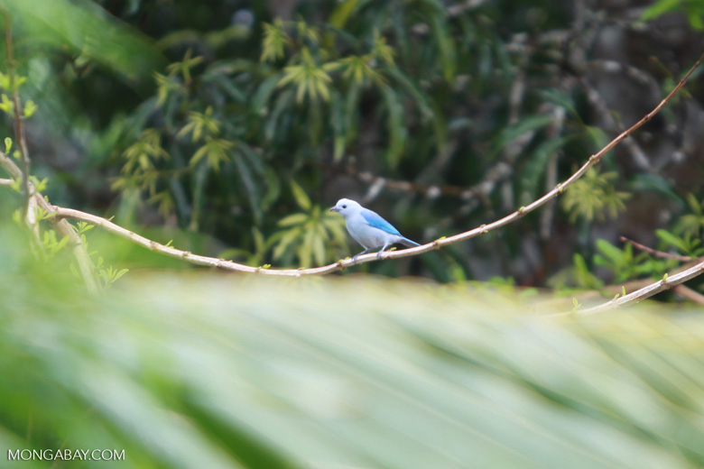 Blue-grey Tanager (Thraupis episcopus) [colombia_1964]