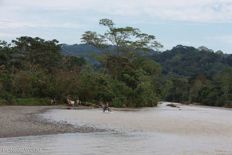 Cowboys herding cattle across a river [colombia_2019]