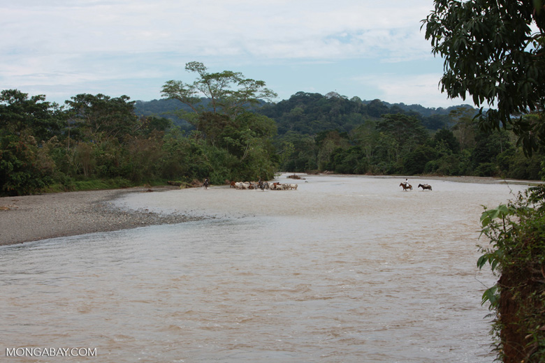 Cowboys herding cattle across a river [colombia_2036]
