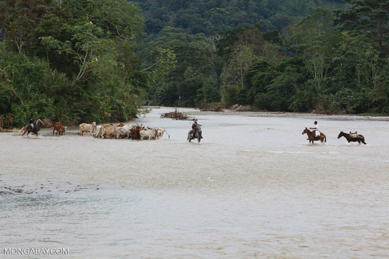 Cowboys herding cattle across a river [colombia_2039]