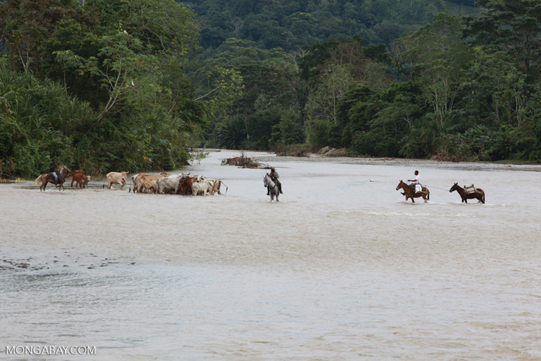 Cowboys herding cattle across a river [colombia_2040]