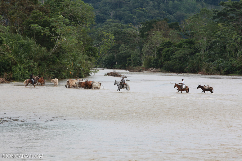Cowboys herding cattle across a river [colombia_2042]