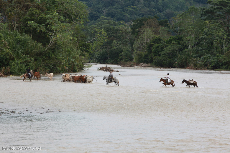 Cowboys herding cattle across a river [colombia_2043]