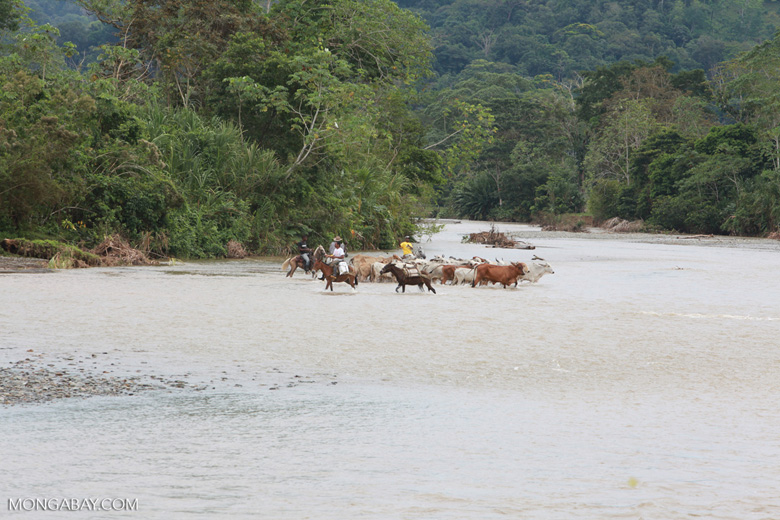 Cowboys herding cattle across a river [colombia_2050]