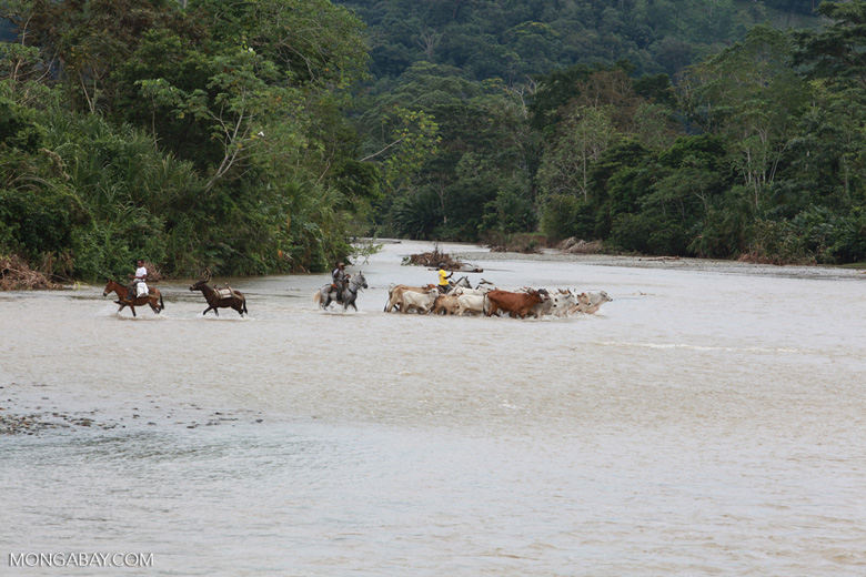 Cowboys herding cattle across a river [colombia_2053]