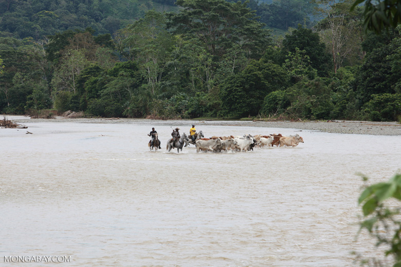 Cowboys herding cattle across a river