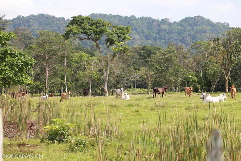 Cattle in once-forest now-pasture in Colombia. Image by Rhett Butler/Mongabay.