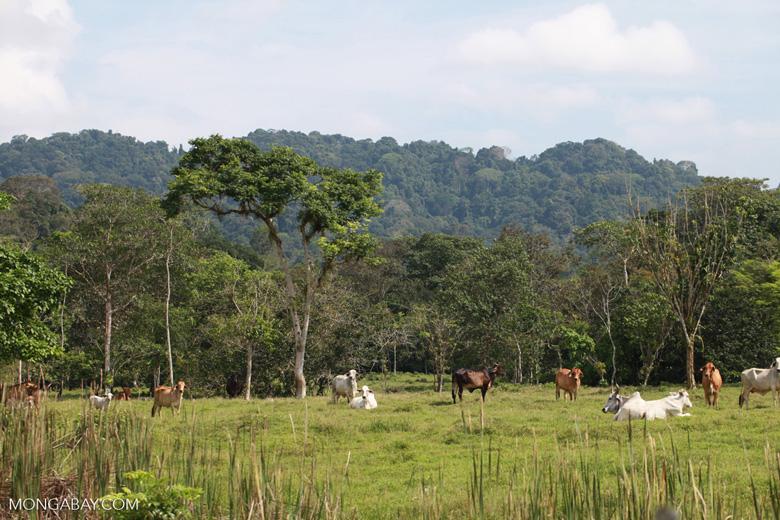 Cattle grazing on former rainforest near Peñaloza