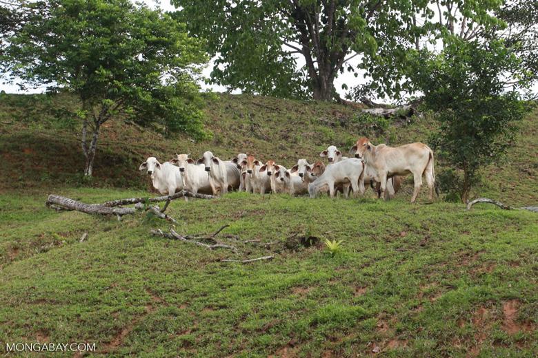 Cattle grazing near Peñaloza
