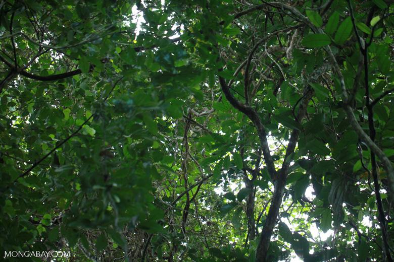 Darien rainforest canopy as seen from the forest floor